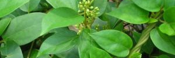 gymnema_sylvestre_side_effects_f_600x200