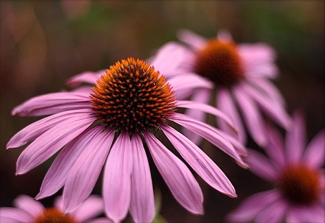 echinacea_ruby_star_cl